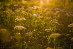 02-2013_06_12_21-__ (Yury Augulis) Tags: sunset summer nature beauty grass      2013