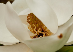 Magnolia flower (tommaync) Tags: white flower nature oneaday june yellow closeup tom nc nikon may photoaday bloom magnolia chapelhill unc pictureaday gaa alumniassociation d40 project365 2013 project365164 theuniversityofnorthcarolina project365061813
