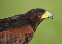 Harris hawk. (Phil-Greaves.) Tags: county ireland bird birds clare bokeh hawk owl harris birdsofprey