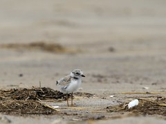 Piping plover chick (Bibi Paradise) Tags: birds parkerriverwildliferefuge pipingploverchick