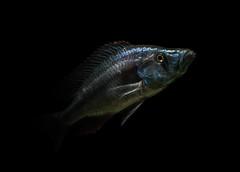 Eye-biter (Mostafa Karimi) Tags: malawi compressiceps  eyebiter dimidiochromis