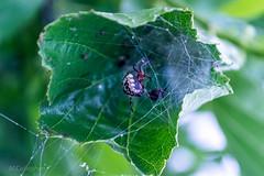 Spider (Callaghan69) Tags: uk nature animal spider leaf wildlife cobweb northumberland spidersweb nikond3100