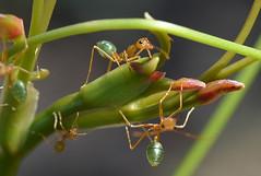 Green Ants Oecophylla smaragdina Feeding On Smilax australis Smilacaceae Adjacent Freshwater Stream Sandtone Scrubland 01 (Nieminski) Tags: fauna creek flora nikon australia darwin bamboo gorge kakadu northern territory litchfield umbrawarra kambolgie
