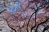 Sakura sky (stekler) Tags: japan tokyo ueno blossom sakura hanami uenopound