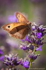 Mytril (Stéphane Gavoye) Tags: papillon insecte faune macrophotographie myrtil etiquettesdemotsclésimportées