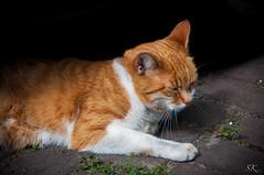 a cat is a cat (SK snapshots) Tags: portrait pet animal cat kat kitty portrt katze  macska gatto  kot koka kedi katt kissa kttur maka kucing aroundtheworld mo paka  kat  kais   pisic