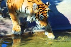 IMG_1903 (Sookie's Photography) Tags: birds animals tiger tigers meercats monkeys cubs bigcats pandas redpandas meerkats leopards snowleopards snowcubs flickrbigcats flikrbigcats