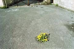 (Tom Guilbert) Tags: uk film tarmac 35mm iso200 bath dandelion carpark olympusom10 agfavista200 20130814olympusom10agfavista2005011