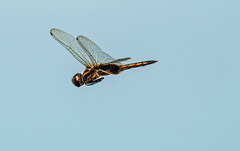 hyacinth glider (explored 9/5/2013) (robert salinas) Tags: dragonflies a57 hornsbybend odonates