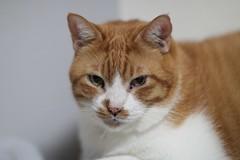 Jiji (candyz0416) Tags: cats jiji canonef85mmf12liiusm cats2013