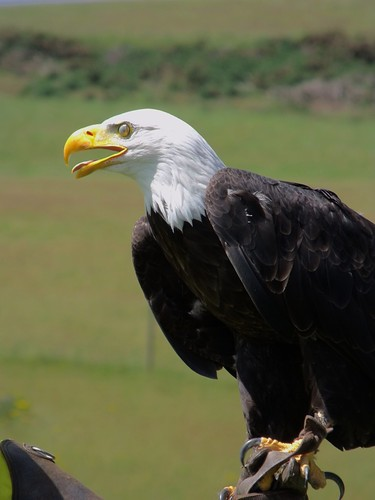 Cochise the Bald Eagle