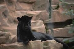 Jaguar (mellting) Tags: animal mammal zoo nikon flickr sweden bigcat jaguar eskilstuna platser blackjaguar pantheraonca parkenzoo djurparker sigma70300456 nikond7000 mellting obloggad matsellting