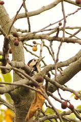 Aakakann bak (Hseyin Baaolu) Tags: nature birds turkey woodpecker trkiye troia truva biga turkei dardanel doa anakkale aakakan tair11a135mmf28 pegai tair11a nikond300s gmay gumuscay hseyinbaaolu huseyinbasaoglu zenittair11a dthseyinbaaolu dthuseyinbasaoglu