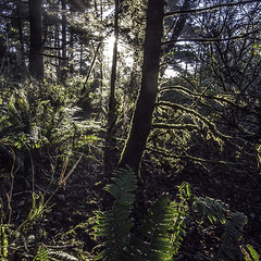 Whaleshead woods (edwham) Tags: autumn trees sunlight fall backlight oregon forest golden moss warm ferns mossy glade riparian