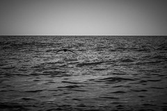huyendo hacia el futuro (FJTUrban (sommelier d mojitos)) Tags: sea bw patagonia white black blanco argentina birds sanantonio bay mar gulf noiretblanc negro bn pjaros golfo baha cormoranes sanmatas