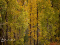Autumn  Trees at Grand Teton Overlook- (22) (moelynphotos) Tags: trees yellow autumnleaves falltrees autumnyellow moelynphotos coth5 grandtetonoverlook autumninwyoming