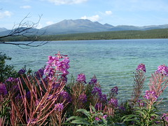 Yukon Beauty ........... View Large Folks (Mr. Happy Face - Peace :)) Tags: pink friends sun lake canada flower love tourism nature freshair hope fishing waves alone peace native hiking explorer blossoms memories shoreline scenic peaceful hike explore yukon quotes wise northamerica environment lonely wildflowers wilderness naturalbeauty relationships minimalistic depth herb touring flickrfriends canoelake worldpeace foreground nationalgeographic freshwater fireweed pristine memorable absence internationaltravel hss icapture northof60 naturesbeauty northerncanada jimmyb natureparks whitehorseyukon rosebaywillow mrhappyface terriories mrshappyface villageslandscapecountryside skycloudwater bluegreenpurplepink foothillsmountains waterscapemoutainscape