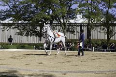 Tempel Lipizzans Final Show 9222013-718 (jkBorys) Tags: horses horse stallions stallion tempel lipizzaner dressage lipizzan lipizzans tempelfarms templelipizzan tempellipizzans templefarms