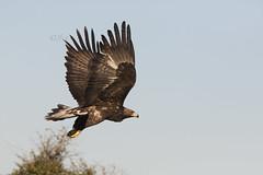 guila real/guia-Real/Royal Eagle (Aquila chrysaetos) (jlvalinha) Tags: espaa naturaleza real eagle royal aves fotografia aguila extremadura caceres aquilachrysaetos aguia ornitologia