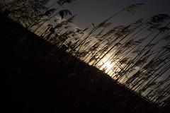Fascinatio Boulevard 350 (dorsman1970) Tags: licht zonsondergang natuur zon riet tegenlicht snelweg 2013