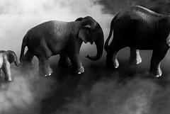 Elefanten im Nebel (kaioettinger) Tags: fotografie nebel elefant spiegelung wetter tier umwelt witterung happyshooting naturlandschaft fotoprojekte bildgestaltung hsnebel