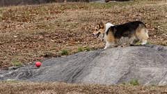 Dog chasing ball (Saurav Pandey) Tags: park newyorkcity morning usa dog newyork ball centralpark sunday chasing