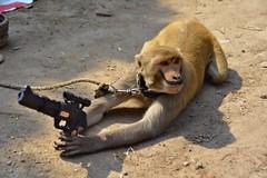 Monkey with a gun (BrianRope) Tags: india varanasi