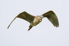 GIOVANE  NITTICORA (d.carradori) Tags: beautiful natura uccelli tuscany toscana atmosfera danilo nitticora acquatici uccelliacquatici eliteimages carradori giovanenitticora