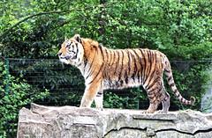 Bengal Tiger / Bengaalse Tijger (Rick & Bart) Tags: animal cat tiger tijger bengaltiger olmensezoo pantheratigristigris bengaalsetijger goldentiger rickbart thebestofday gnneniyisi flickrbigcats rickvink goudentijger