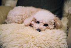 毛 (cockatiella la) Tags: dog film puddle taiwan taipei 台灣 台北 家 狗 yashicafx7 毛 蘿蔔 分不清