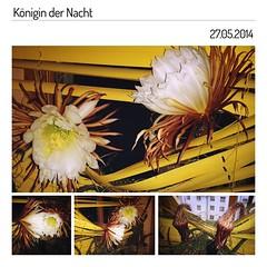 Derweil daheim:  Die Königin der Nacht.  Queen of the night. #Königin #Queen #night #Nacht #blühen #Selenicereus #grandiflorus