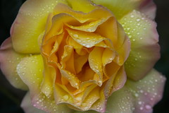 Blushing Beauty Bathed in Dew (Life_After_Death - Shannon Day) Tags: life morning pink flowers roses flower color detail art water rose yellow canon garden botanical photography eos death drops day gardening images shannon dew license getty after dslr botany canondslr canoneos gettyimages lifeafterdeath 50d shannonday canoneos50d canon50d canon50ddslr canon50deos canoneos50ddslr canoneod50ddslr canondsler lifeafterdeathstudios lifeafterdeathphotography shannondayphotography shannondaylifeafterdeath