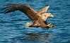 White-tailed Eagle (Haliaeetus albicilla) (PeterQQ2009) Tags: birds norway seaeagle whitetailedeagle haliaeetusalbicilla