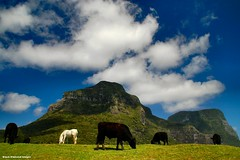 View From Near Capella Lodge to Mt Lidgbird & Mt Gower, Lord Howe Island, NSW (Black Diamond Images) Tags: horse mountain clouds island cattle cows scenic australia caldera nsw whitehorse lordhoweisland worldheritagearea blackcows mountlidgbird mountgower mtgower mtlidgbird thelastparadise