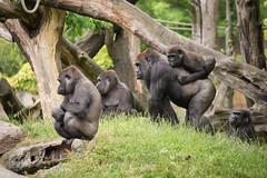 2014-06-19-11h01m52.BL7R1206 (A.J. Haverkamp) Tags: zoo rotterdam blijdorp aya gorilla annette dierentuin diergaardeblijdorp adira westelijkelaaglandgorilla httpwwwdiergaardeblijdorpnl pobinthewild canonef100400mmf4556lisusmlens pobrotterdamthenetherlands dob12102006 dob27021995 dob01011973 dob05122010 ayba