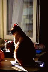 chasing the sun (giuliaph.) Tags: sun sunnyday sunny day daylight cats cat gatto gatti cute thecutest omg sunbathing nature animals animal animali animale cutie cuties teneri dolci thecats thecat