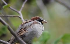 Sparrow (careth@2012) Tags: bird sparrow nature wildlife feathers beak