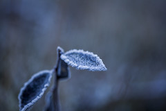 18/365 - Frozen (Inelund) Tags: 365days frozen autumn fall winter frost macro canoneos5dmarkii leaf plant