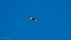 Bald Eagle in flight 2 (kensparksphoto) Tags: bald eagle bird flight alberta calgary canada flying soar soaring prey sky fishcreekpark