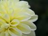 dahlia (upjohn_freak) Tags: dahlia dew drop flower fleur fiore closeup macro 花 yellow