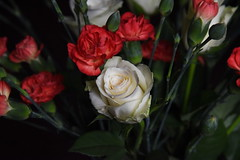 DSC_3219 (PeaTJay) Tags: nikond750 reading lowerearley berkshire macro micro closeups gardens indoors nature flora fauna plants flowers rose roses rosebuds carnations