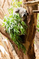 Schlafender Koala (Mitrish) Tags: koala bär koalabär schlaf plüschig zoo leipzig süs flauschig goldig graues fell schlafend sleep dreaming träumen australien