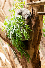 Schlafender Koala (Mitrish) Tags: koala br koalabr schlaf plschig zoo leipzig ss flauschig goldig graues fell schlafend sleep dreaming trumen australien
