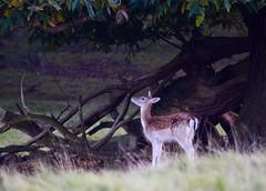 (LEALSWEE) Tags: deer bambi faun tatton park national trust cheshire rut autumn