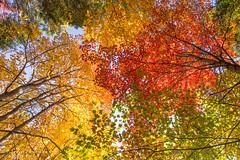 Voûte colorée / coloured roof (Pierre Lemieux) Tags: villedequébec québec canada canopy feuilles leaves automne fall