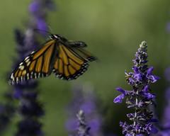 Monarch_SAF4370 (sara97) Tags: danausplexippus butterfly insect missouri monarch monarchbutterfly nature outdoors photobysaraannefinke pollinator saintlouis urbanpark copyright2016saraannefinke