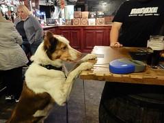 Bailey 38 months (deltrems) Tags: pet dog bailey welsh border collie pub bar inn tavern hotel hostelry house restaurant pumpandtruncheon pump truncheon blackpool lancashire fylde coast