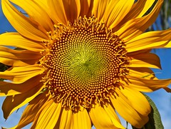 SunFLOWER (BlueisCoool) Tags: foto photo image capture picture photography nikon coolpic l330 color colorful yellow bold bright beautiful pretty vivid plant sunflower flower flowers bloom outdoor outdoors nature pattern florida organicpattern largoflorida