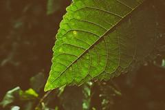 Leaf (whistlah50) Tags: leaf outdoor green midvein secondary vein nature panasonic dmcfz1000 fz1000 plant pattern organic