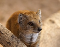 Yellow mongoose (Cynictis penicillata) (Annette Rumbelow) Tags: yellowmongoosecynictispenicillata marwellzoo annetterumbelowwilson fur browneyes adorable captivebreeding captivity mongoose